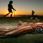 Invasión de calamares gigantes en California