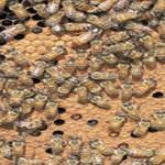 """""""Se nos mueren las abejas"""", Aporte de El Corderito"""