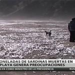 CHILE: Al menos 4 toneladas de sardinas aparecen muertas en playa Cheuque.