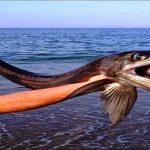 Capturan un misterioso pez de las profundidades varado en una playa de Carolina del Norte. Algo esta pasando…Aporte Hna. Norma M.